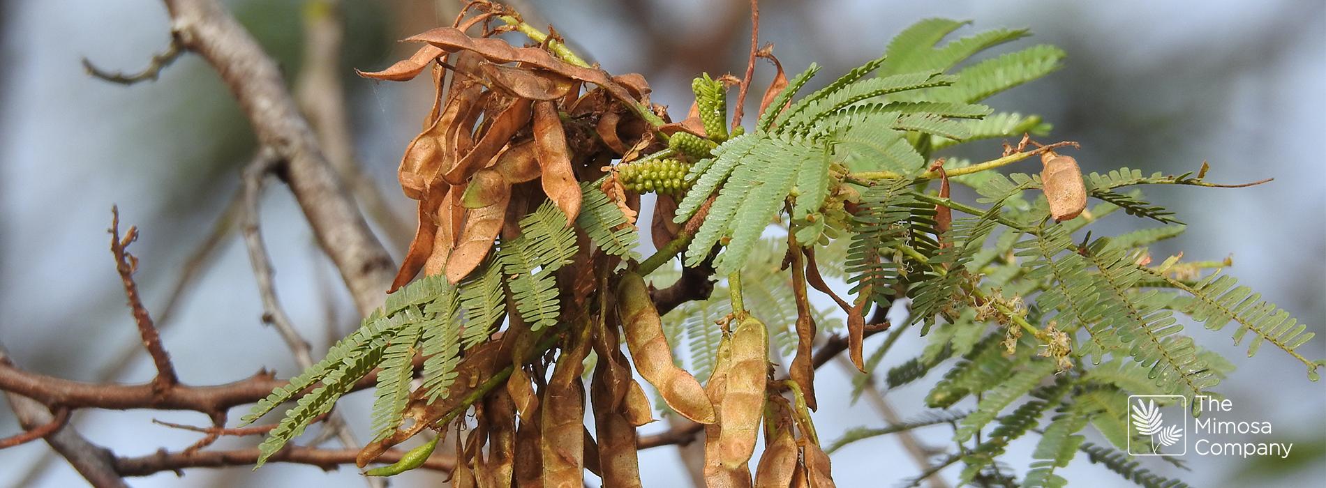 Mimosa hostilis-Bäume im tropischen Laubwald