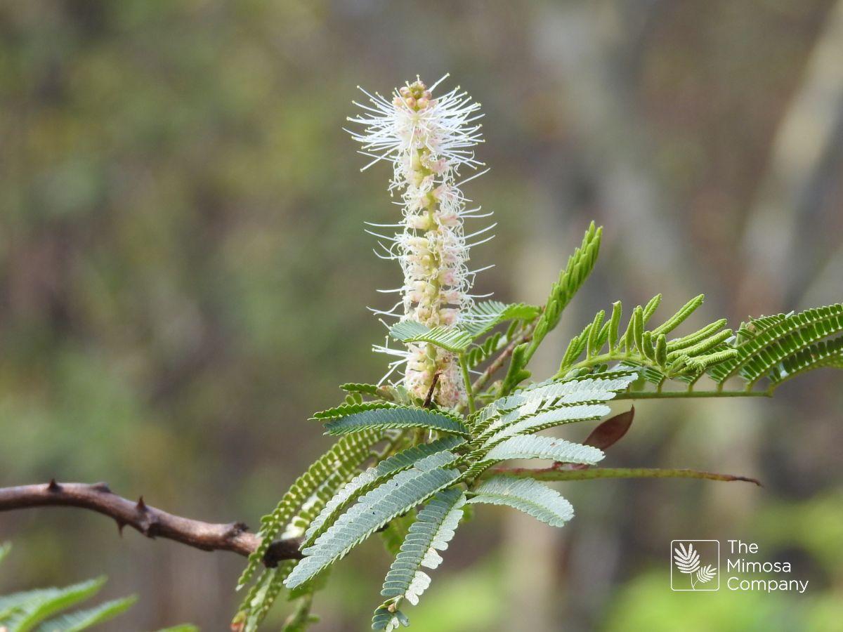 Mimosa hostilis flower