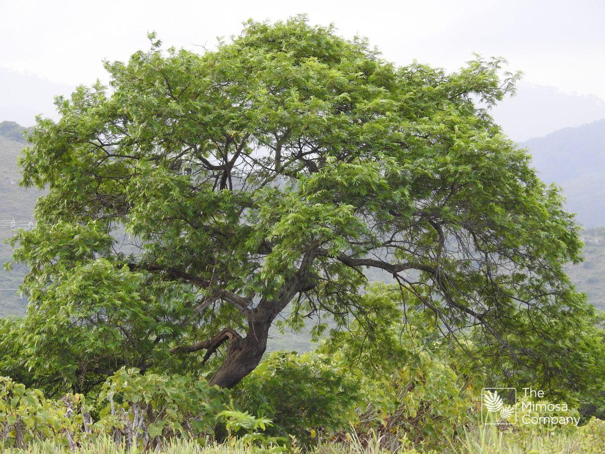 Mimosa hostilis tree
